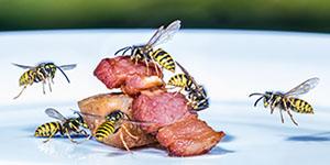 Gemeine Wespe frisst Fleisch