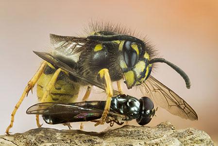 Gemeine Wespe mit Beute